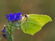 Gonepteryx-rhamni, Schmetterling von Zitronen lizenzfreies stockfoto