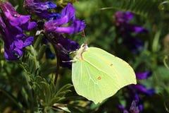 Free Gonepteryx Rhamni , The Common Brimstone Butterfly Royalty Free Stock Photos - 183868388