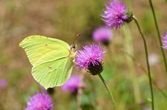 Free Gonepteryx Rhamni , The Common Brimstone Butterfly Royalty Free Stock Photography - 198604257