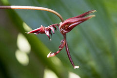 Gongora Orchid with Dragon-shaped Flower. Deep red gongora orchid flowers are shaped like a flying dragon to attract orchid bees Stock Image