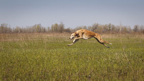 goniący Ogara pies Horta biega Fotografia Stock