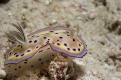 Goniobranchus op koraalrif onderwater stock foto