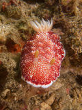 Goniobranchus reticulatus at one of my favourite macro sites in North Sulawesi, Paradise Jetty, near Pulisan, Indonesia. Stock Photo