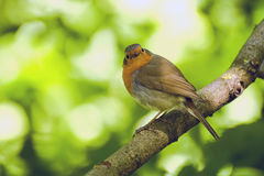 Ögonkastfågel Arkivbilder