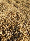 Gonna be coffee. Raw coffee beans drying on sunny day Royalty Free Stock Photo