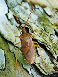 Gonocerus acuteangulatus on tree bark. stock photos