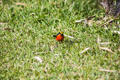A Gonolek in the grass Royalty Free Stock Photography