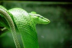Gonyosoma oxycephalum, grön kropp och huvud och kropp arkivbild
