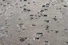 Gooat fait un pas des empreintes de pas sur la boue Photographie stock libre de droits