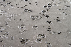 Gooat steps footprints on the mud Royalty Free Stock Photography