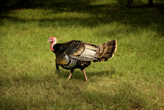 Goobler Profile. Profile of a wild turkey gobbler feeding on bugs royalty free stock photo