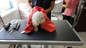 Good attractive woman vyterat small dog groomer. White French lapdog after bathing wrapped in a pink microfiber towel stock footage