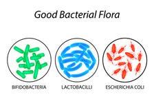 Good bacterial flora. Lactobacilli, bifidobacteria, Escherichia coli. Infographics. Vector illustration. Royalty Free Stock Photography