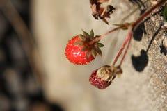 Good and bad strawberries closeup royalty free stock photography
