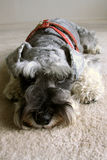 Miniature Schnauzer Dog. Resting on the floor Stock Images