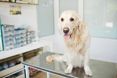Good boy in clinic Stock Photos