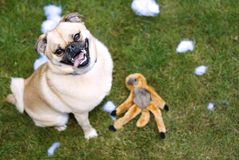 Good-Bye Mr Monkey. This image shows a Pug-Pomeranian cross pridefully displaying his now deflated toy Royalty Free Stock Photos