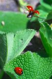 Good bye my love, good bye... Flying Ladybird and ladybird on green leaf. Coccinellidae Latreille Royalty Free Stock Photography