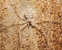 Good camouflage. A twin tailed spider camouflaged on the bark of a tree Stock Image