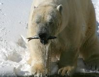 Good Catch Polar Bear. A polar  bear with a fish in its mouth Stock Images