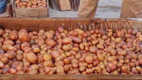 Good crop of potatoes. stock video
