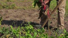 Good crop of vegetables. stock video
