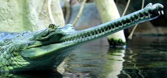 Good dental hygiene (indian gavial) Royalty Free Stock Photography