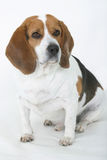 Good Dog #1. Beagle Sitting, isolated Stock Photos