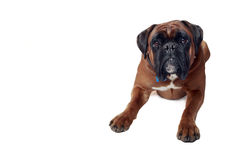 Good Dog Stock Image