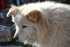 Good dog with long brown fur in a sunny spring day. royalty free stock images