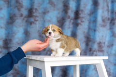 Good doggy. Master hand with delicacy for corgi puppy.  Royalty Free Stock Photo