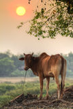 Good Evening Cow! Royalty Free Stock Photo
