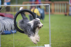 Good form. Purebred dog Bearded Collie jumping in good form in agility competition. He is landing on grass and looking for a next command from his owner. He is royalty free stock photography
