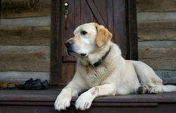 Good friend. Yellow Labrador dog royalty free stock image