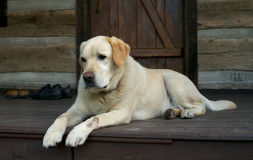 Good friend II. Yellow Labrador dog royalty free stock image