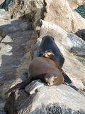 Good friends. Pair of seals sleeping together stock photography