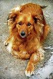 Good Girl - Scotland. Family dog posing for her portrait - Scotland Stock Images