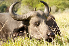 Good Grass - African Buffalo Syncerus caffer. The African buffalo or Cape buffalo is a large African bovine. It is not closely related to the slightly larger royalty free stock image