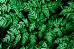 Good green leaves. Green background. Texture. Grass.Wild carrot stock photography