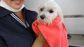 A good groomer attractive woman holds a small dog. White French lapdog after bathing wrapped in a pink microfiber towel stock video