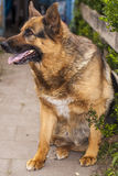 Good guard dog, a German shepherd Stock Photography