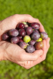 Good handful of ripe olives Stock Photos