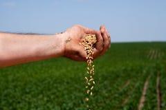 Good Harvest. Farmer spilling freshly harvested grains of wheat against soybean field Stock Images