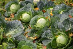 A good harvest of white cabbage in autumn field. A good harvest of white cabbage in autumn field royalty free stock photography