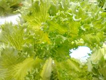 Green salad. Vegetable  fresh be reviewed in convert crop wireless soil Royalty Free Stock Photo