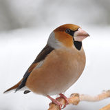 Good-looker Hawfinch Royalty Free Stock Photography
