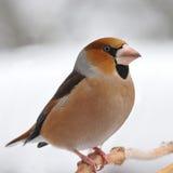 Good-looker Hawfinch