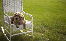 Good looking dog on a white wicker chair. A dog is sitting on a white wicker chair on green grass Stock Image