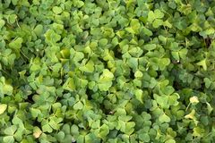 Good luck. Field of lots of green clover Stock Photo