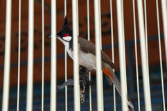 Good luck bird in a cage in Thailand Royalty Free Stock Photography